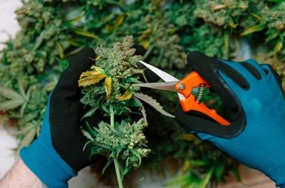 Caregiver trimming marijuana plants