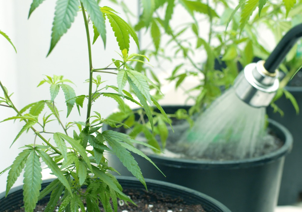 Guidance for Maintaining an Eco-Friendly Cannabis Business